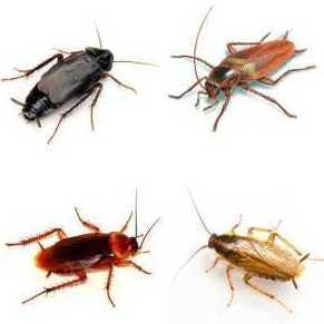 ¿Por qué son tan difíciles de controlar las cucarachas?