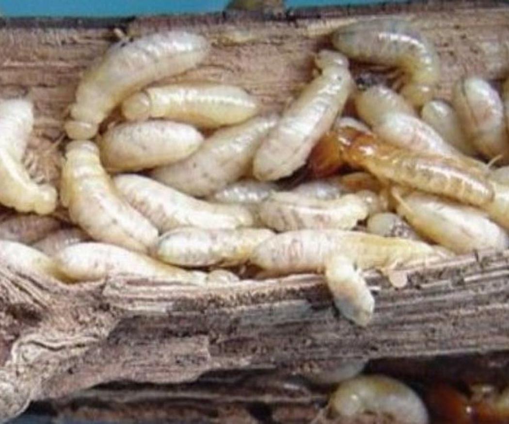 Algunos datos interesantes sobre las termitas