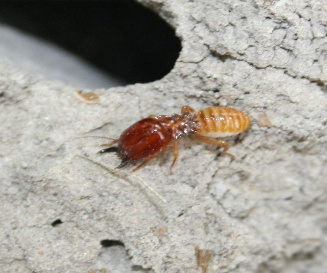 Las termitas y sus riesgos