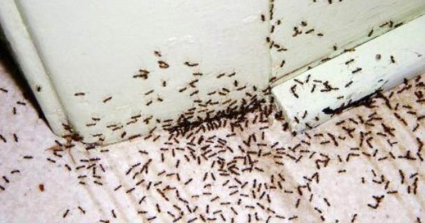 ¿Hormigas en casa? El control de plagas efectivo