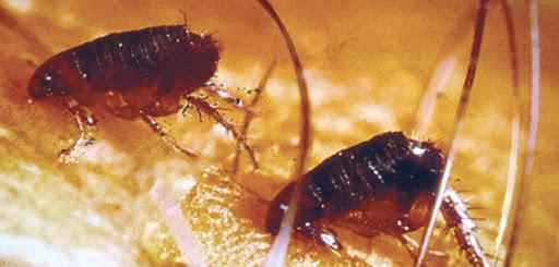 ¿Qué hacer ante plagas de pulgas?