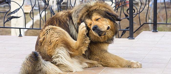 ¿Que hacer si mi perro tiene pulgas?