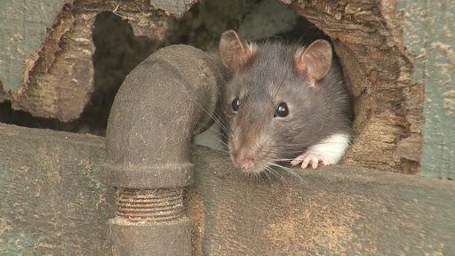 ¿Son efectivos los olores para repeler a las ratas?