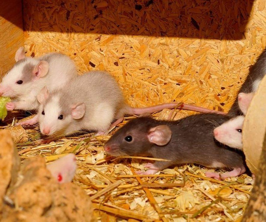 Algunas enfermedades que pueden transmitir las ratas