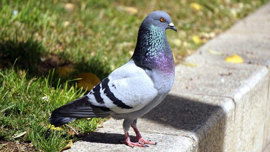 Algunos de los problemas que originan las palomas