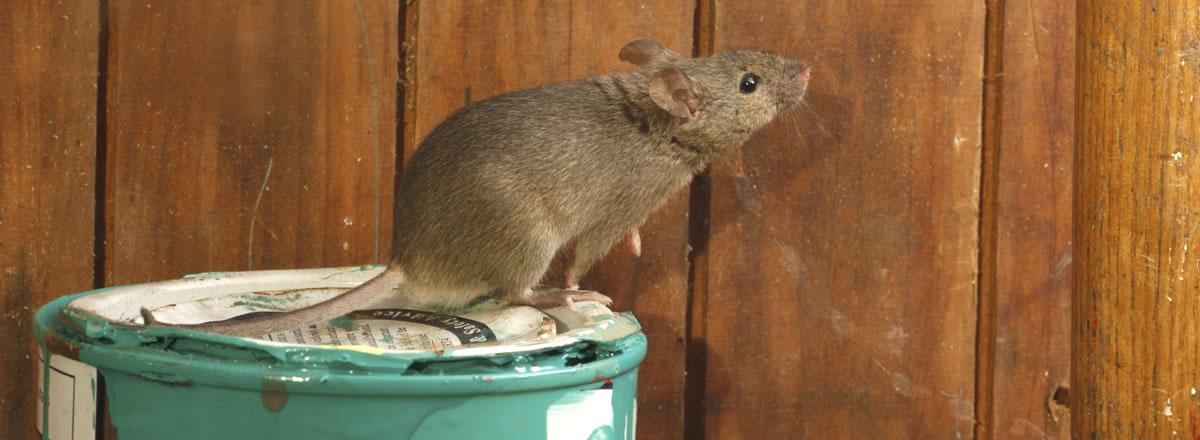 Como prevenir los roedores este otoño