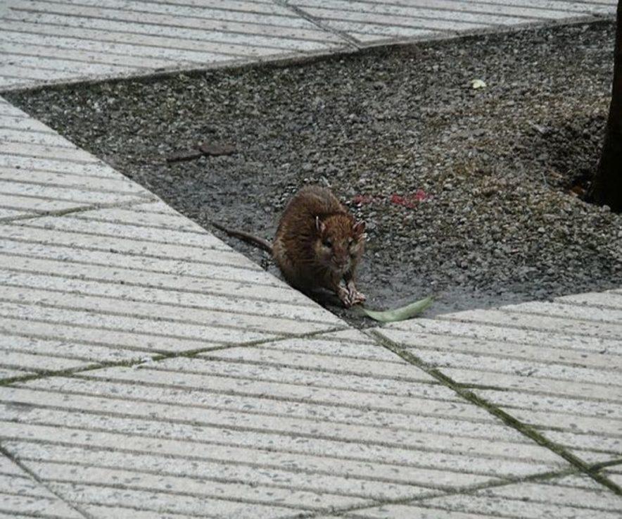 Consejos para eliminar ratas de tu domicilio o negocio