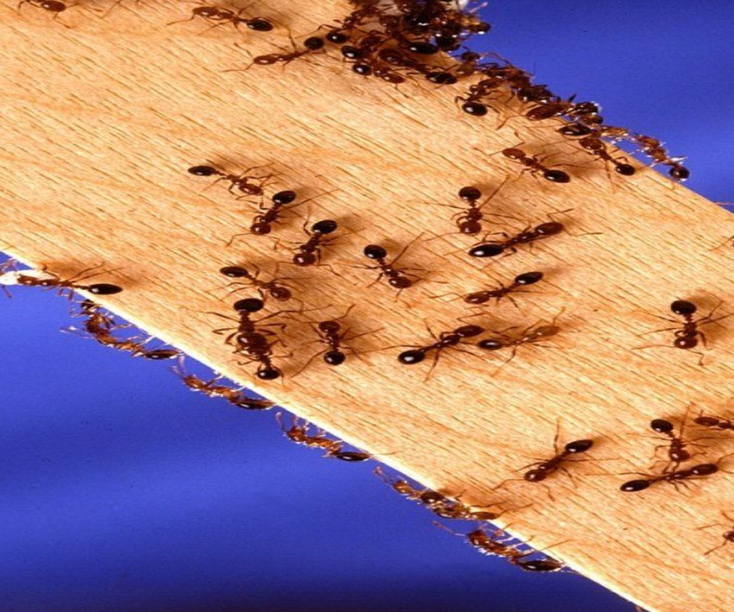 Cuando las plagas de hormigas se convierten en un problema