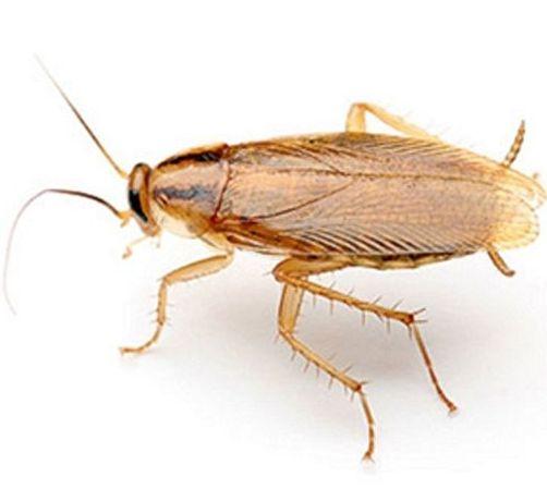 Cucaracha alemana (Ficha)