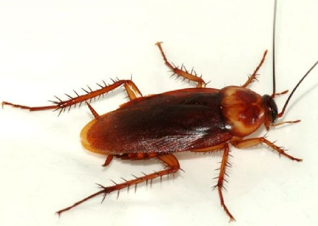 Cucaracha americana (Ficha)