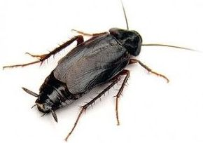 Cucaracha oriental (Ficha)