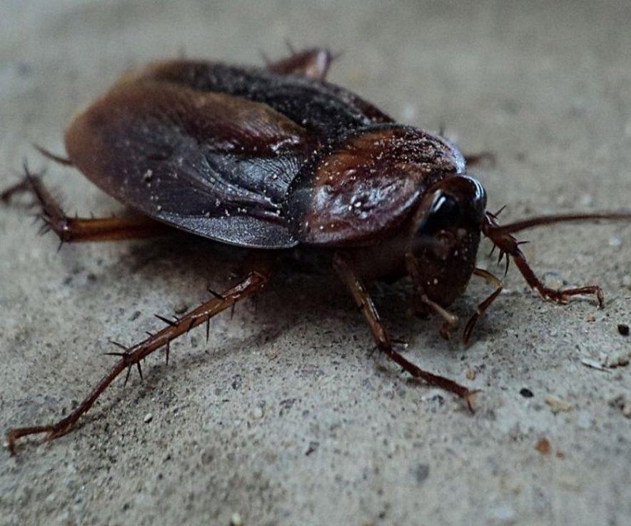 Curiosidades sobre las cucarachas que deberías saber