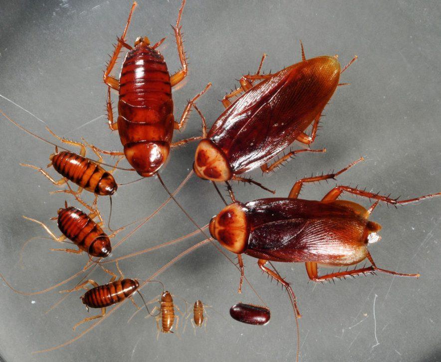 El ciclo de la cucaracha americana