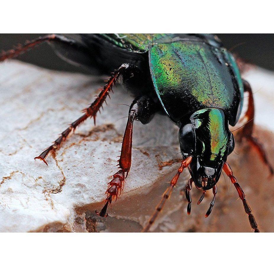 I.P.A.s (Insectos de los Productos Almacenados)