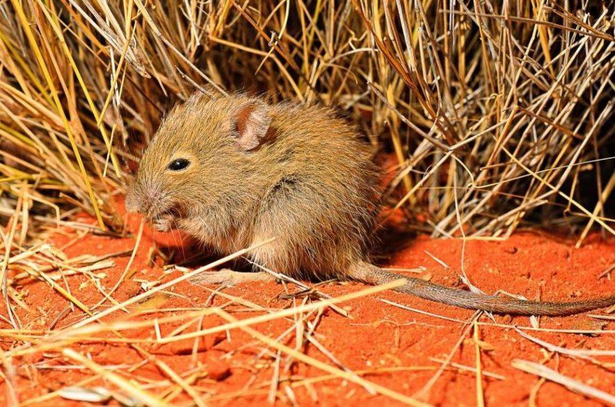 Incremento de la población de roedores debido al cambio climático