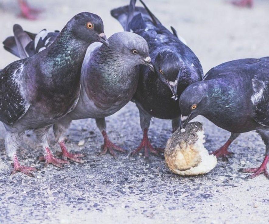 La importancia del control de palomas