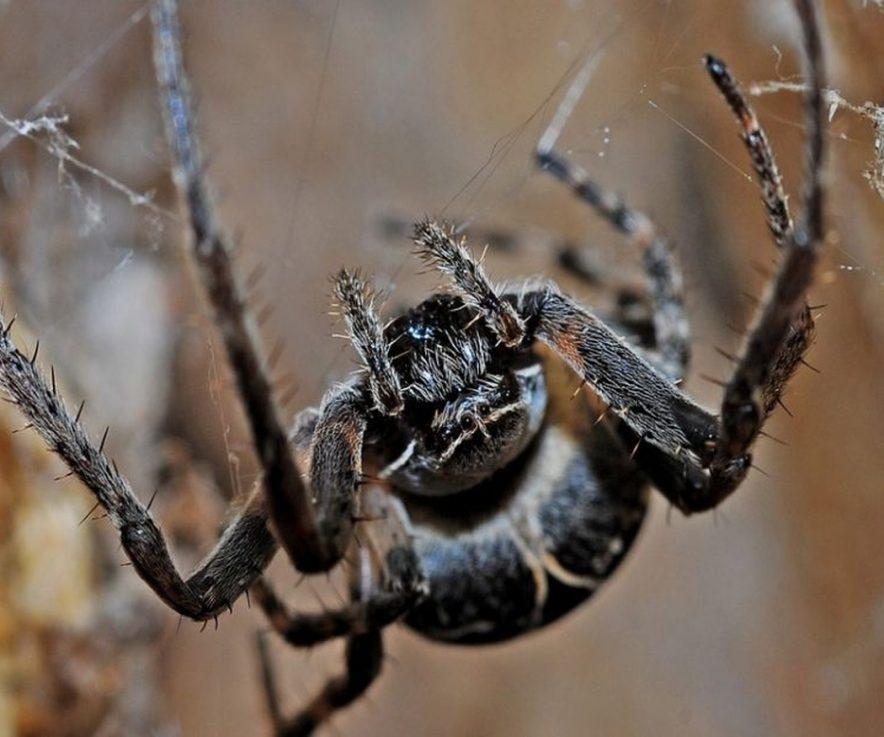Las plagas de arañas