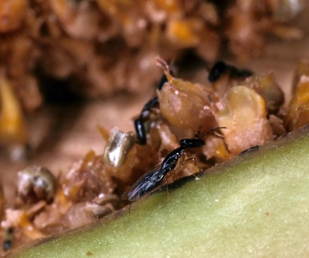 Los insectos de productos almacenados (IPA)