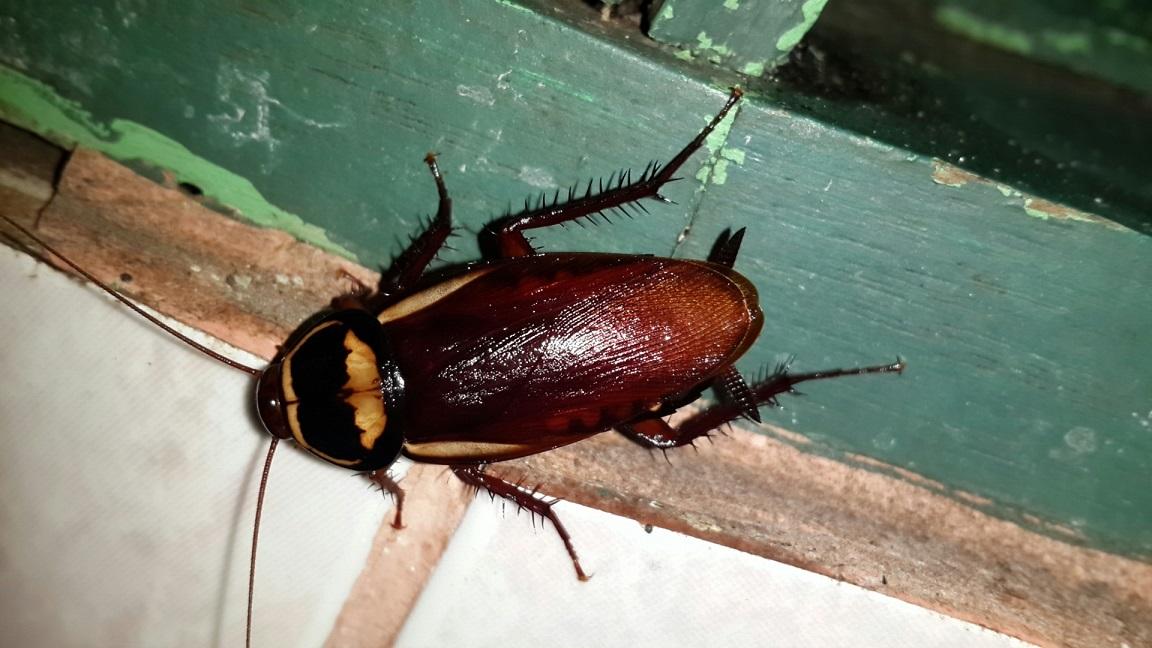 Nuevas plagas: La cucaracha australiana aparece en España