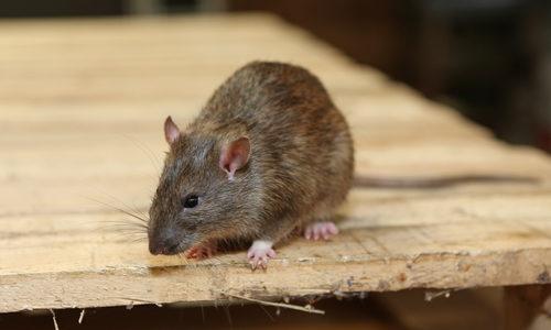 protege-tu-garaje-de-los-roedores