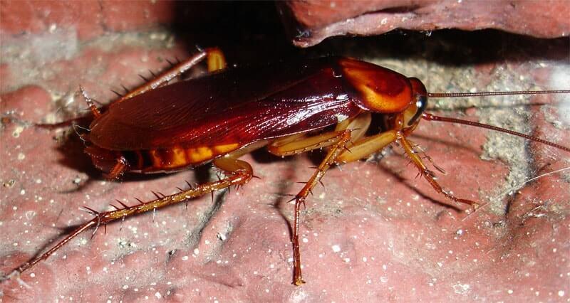 Razones por las que las cucarachas aumentan durante el verano
